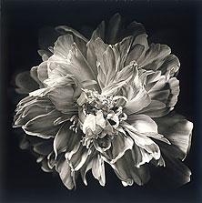 Peony B3 60x60 2006 conte crayon on paper