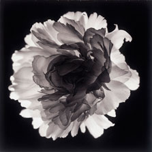 Peony B6 60x60 2006 conte crayon on paper