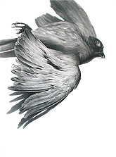 Mourning Dove 60x45 2009 conte crayon on paper