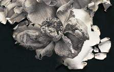 Torn Roses #2 (detail)