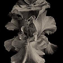 Iris #1, 2018, conte crayon on rag paper. 20x20